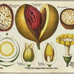 Myristica fragans Houtt, Nutmeg tree
