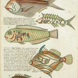 An early study of exotic Indonesian fish identifies one colourful specimen as Ikan Banda